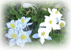 crested butte-columbines in Crested Butte
